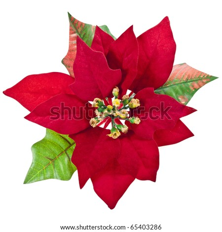 red christmas flower isolated on a white background