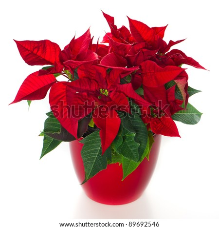 red christmas flower poinsettia over white background - stock photo