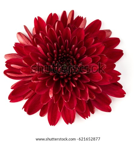 Red chrysanthemum flower isolated on white background #621652877