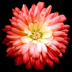 Red  chrysanthemum.  Flower on black isolated background with clipping path.  For design.  Closeup.  Nature.
