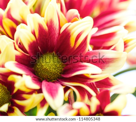 red chrysanthemum in sunshine