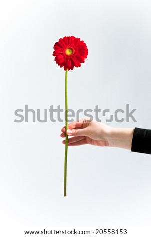 Red chrysanthemum in womans hand - stock photo