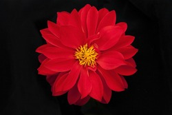 Red chrysanthemum on black background