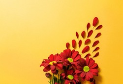 red chrysanthemums close-up on a yellow background with copy space.