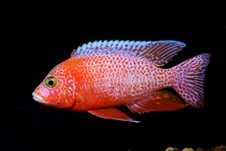 red cichlid fish, ruby red peacock fish ,isolated on black background