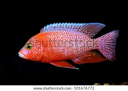 Cichlid Fish Center Red Cichlid Fish Ruby Red
