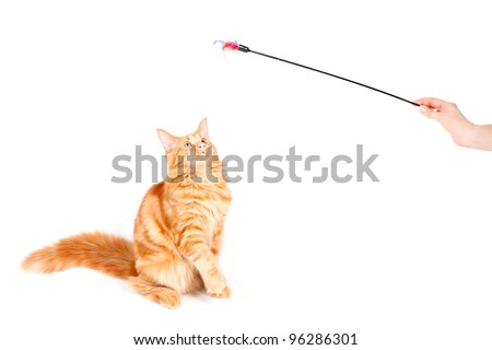 Red classic tabby Maine Coon cat looking at a feather toy