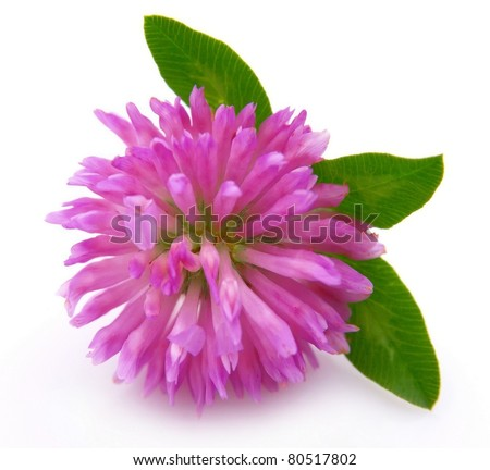 Red clover flower #80517802
