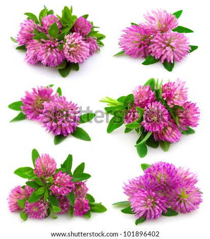 Red clover flower and leaves isolated on white background #101896402