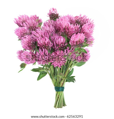 Red clover herb flower posy tied in a bunch isolated over white background. Trifolium pratense.