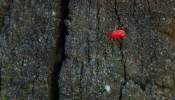 Red Clover Mite on Wood (Bryobia praetiosa)