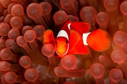 Red clown fish swimming in red anemone