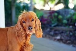 Red Cocker Spaniel Looking Into Camera