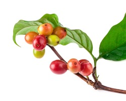 Red coffee beans  on a branch of coffee tree, ripe and unripe berries isolated on white background