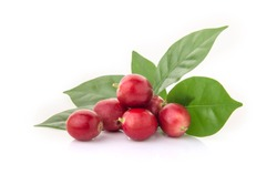 Red coffee beans on a branch of harvest the coffee tree, ripe and unripe berry fruit isolated on white background.