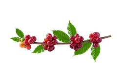 Red coffee beans on a branch of the coffee tree, ripe and unripe berries isolated on white background, Red coffee beans on a branch of harvest the coffee tree, ripe berry fruit on white background.