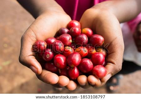 Red coffee cherries at the Liza coffee cooperative in the Lake Kiva region of Rwanda  Stock photo ©