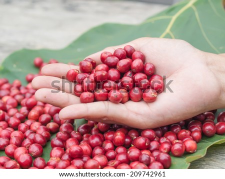 red coffee cherry in hand