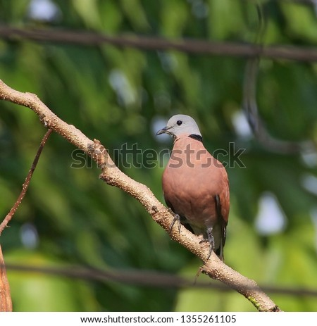 Red Collared Dove, a male bird, perched on brown branch with nature green background nearby my house, Central Thailand. Lovely wild animal in natural habitat of Asian tropical country. #1355261105