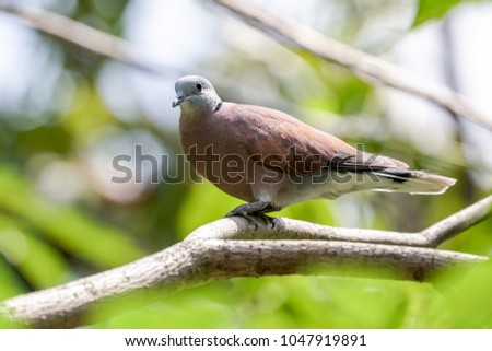 Red-collared dove standing on a tree branch #1047919891