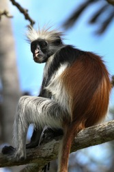 Red colobus monkey at Jozani forest in Zanzibar, Tanzania.  It's worth visiting this forest to see these monkeys.