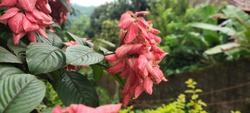 Red color Musanda flower with green blurred background