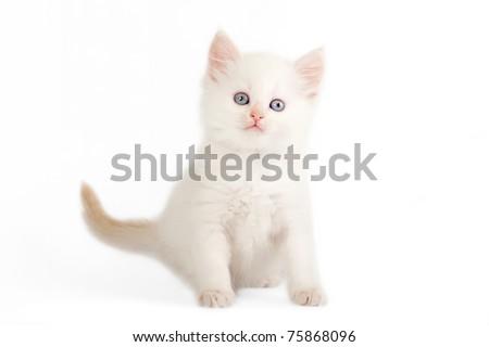 Red color point siberian kitten on white background