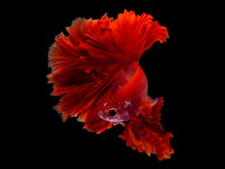 Red color Siamese fighting fish(Rosetail),fighting fish,Betta splendens,on black background with clipping path,Betta Fancy Koi halfmoon Plakat