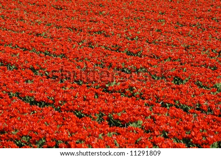 Red colored tulip fields in the Netherlands