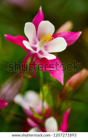 Red columbine (Aquilegia formosa). Canadian columbine or Aquilegia granny bonnet beautiful native wild flower of western Canada. Closeup vibrant pink & white color Aquilegia. Columbine in green garden