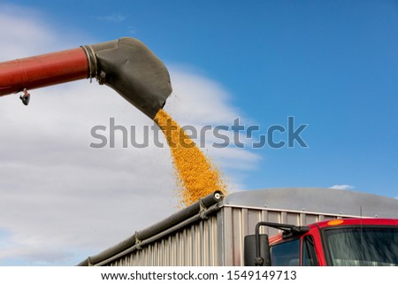 Red combine harvester using bin auger for unloading yellow corn kernels into grain truck. Sunny day with blue sky during the 2019 harvest season