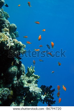 Red coral perch in the Red Sea natural environment - stock photo