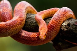 Red corn snake on branch, closeup snake, closeup snake