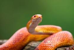 Red corn snake on branch, closeup snake, closeup snake