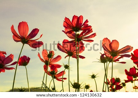 Red cosmos flowers under summer sky in Thailand