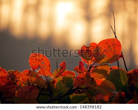 Red cotinus fence against sunset