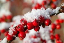 Red Cotoneaster berries with freshly fallen snow
