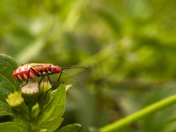 Red cotton bug (Dysdercus cingulatus) with green grass background