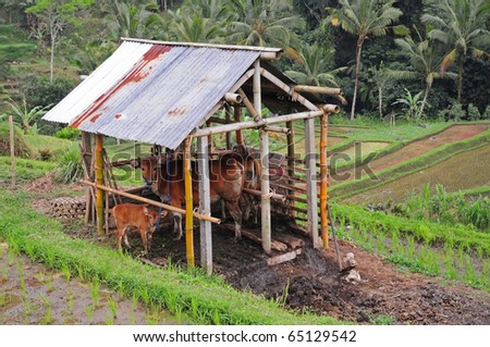 Red cows on rice terrace field background, Bali Indonesia.