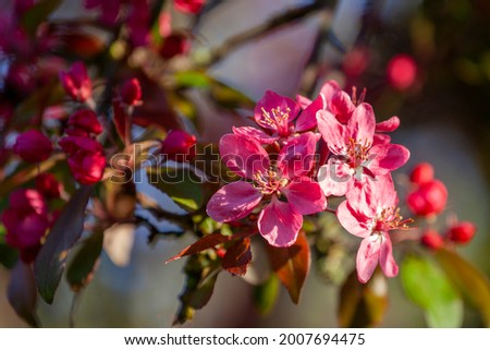 red crab apple blossom (malus rudolph) Stock photo ©