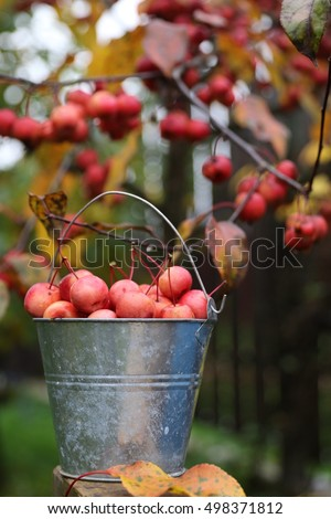 Red Crab Apples in zinc mini vintage basket on dark wooden background, crab apple tree , autumn scene in garden. Daylight, original photo, outdoor and space. A bucket full of pink doll crab apples.