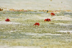 Red crab at Gangasagar sea beach ,west Bengal, India