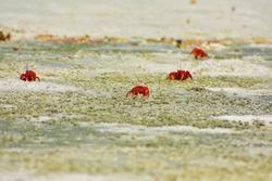 Red crab at Gangasagar sea beach ,west Bengal, India