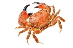red  crab isolated on white,macro photo