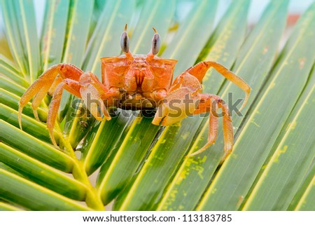 red crab on a palm tree