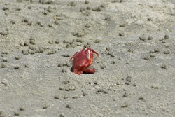 Red Crab on Gangasagar Beach , West Bengal , India