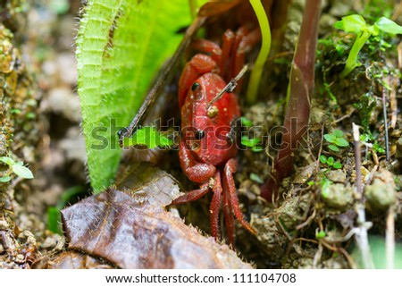 Red crab sitting in the mud near water