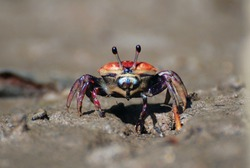 Red crabs on mud beach