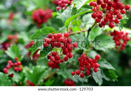 Red cranberry bush - stock photo