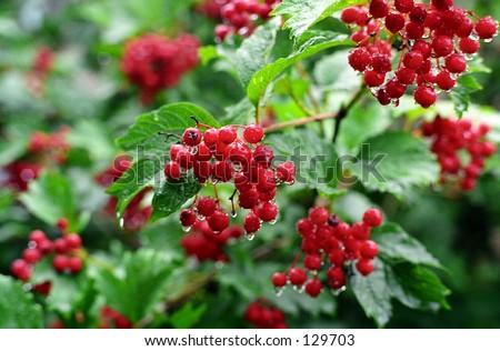 Red cranberry bush